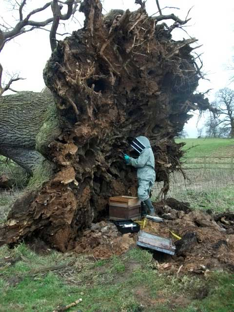 Fallen oak tree reveals nest of over 6,000 bees