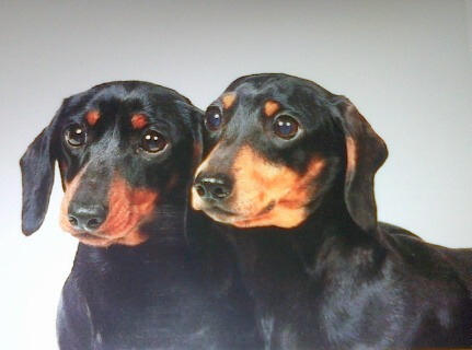 Roxie and Queenie stolen miniature dachshunds